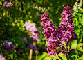 Cluster of pink lilac Royalty Free Stock Photo