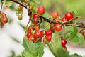 Cluster of red currant after a rain on branch Stock Photos
