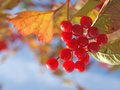 Cluster red guelder-rose berries. Stock Images