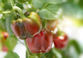 Cluster of red sweet bell peppers on a plant Royalty Free Stock Photo