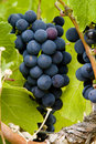 Cluster of red wine-producing grapes Royalty Free Stock Image