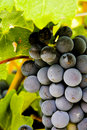 Cluster of red wine producing Shiraz grapes Royalty Free Stock Photography