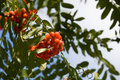 Cluster of Rowan Berries Royalty Free Stock Image
