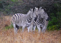 A cluster of three zebras with their distinctive markings in the phinda game reserve wildlife park provide an optical point Stock Images