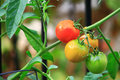 Cluster tomatoes of red and green on vines Stock Photos