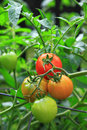 Cluster tomatoes of red and green on vines vertical view Stock Photography