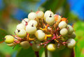 A cluster white fruit the photo taken in china s heilongjian province daqing city daqing botanical garden the time is september Royalty Free Stock Photography