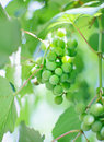 Cluster of white grapes Stock Images