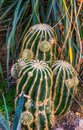Clustered golder barrel cactus, Endangered tropical plant specie from Mexico Royalty Free Stock Photo