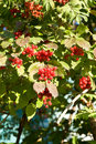 Clusters of berries Stock Photos