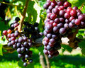 Clusters of grapes on the vine. Royalty Free Stock Photos