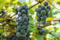 Clusters of purple table grapes multiple Royalty Free Stock Photos