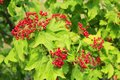 Clusters of red ripe guelder-rose