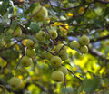Clusters of wild crab apples Royalty Free Stock Photo