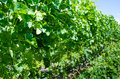 Clusters of young pinot gris grapes green in the summer before maturing for harvest Stock Photo