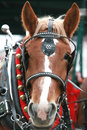 Clydesdale Royalty Free Stock Photo
