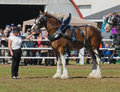 Clydesdale draft horses at country fair horse the th carp ontario canada http www carpfair ca products admission Stock Photography