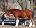 Clydesdale horse Stock Images