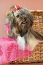 Cão de regaço em uma cesta da fibra Fotografia de Stock Royalty Free