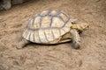 Coahuilan Box Turtle Royalty Free Stock Photo