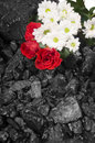 Coal Red Rose Daisies Background