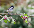 Coal tit on apple tree in spring perched an branch springtime with red blossom buds and green leaves Stock Image