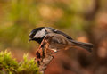 Coal tit beautiful little colorful bird be sure to feeding in winter Royalty Free Stock Photos