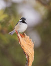 Coal tit on broken branch a periparus ater perches the end of a pine tree Royalty Free Stock Photo