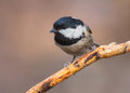 Coal tit closeup of a periparus ater perched on a dry pine twig Royalty Free Stock Photos