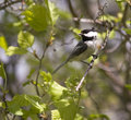 Coal tit forest Royalty Free Stock Photos