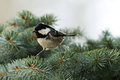Coal Tit (Parus ater) Stock Images