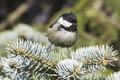 Coal tit parus ater fir branch close up Stock Image