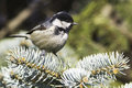 Coal tit parus ater fir branch close up Stock Photography