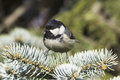 Coal tit parus ater fir branch close up Royalty Free Stock Image