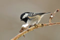 Coal tit photo of standing on the branch Stock Photo