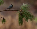 Coal tit on a pine branch Royalty Free Stock Image