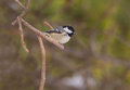 Coal tit on a pine tree twig periparus ater perches the fine twigs of Royalty Free Stock Images