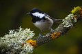 Coal tit songbird sitting on beautiful lichen branch with clear dark background animal in the nature habitat germany europe Stock Image