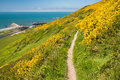 Coast path nature trail clifftop and hiking route overlooking the irish sea with bright yellow gorse flowers in bloom aberystwyth Stock Photos