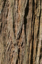 Coast redwood tree bark from Muir Woods Stock Photos