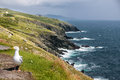 Coast at slea head drive seagull on the iveragh peninsula county kerry ireland Stock Images