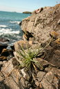 Coastal Cliff Plant Stock Photos