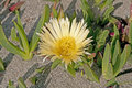 Coastal flower on a sandy beach hottentot fig the california coast Stock Photos