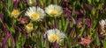 Coastal Flowers Royalty Free Stock Photo