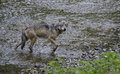 Coastal wolf gaze a looks at the camera while crossing a creek rare alaskan in the tongass national forest alaska fish creek near Stock Image