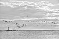Coastline with birds black and white image flying and lighthouse some sun trails in background Royalty Free Stock Images