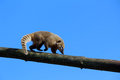Coati Stock Photography