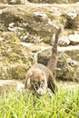 Coati close up scenting some grass through the ruins of tikal Stock Photography
