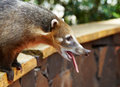 Coati at Iguazu Falls in Argentina Stock Photos