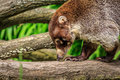 Coati walking along a branch and smelling the wood Stock Photos